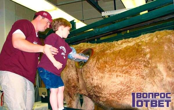 Мальчик исследует отверстие в боку коровы