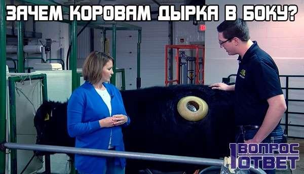 Для чего коровам дырка в боку?