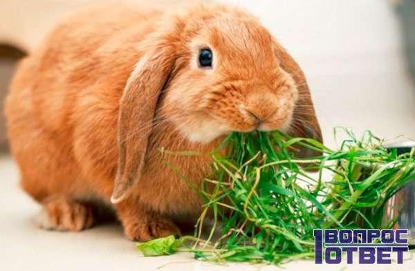 Кролик питается травой
