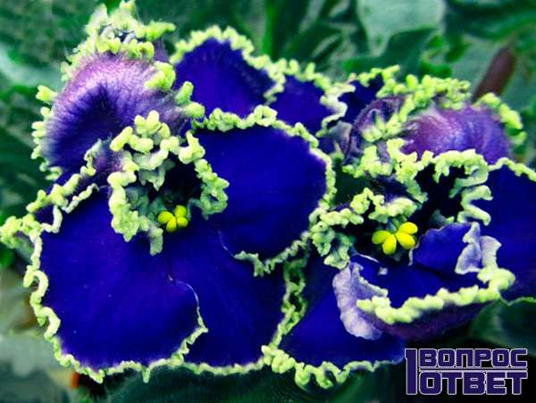 ЛЕ-Прекрасная Фиалка - Цветок