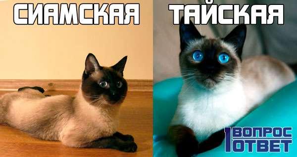 Сиамская: слева, тайская: справа