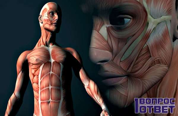 Мышцы на теле