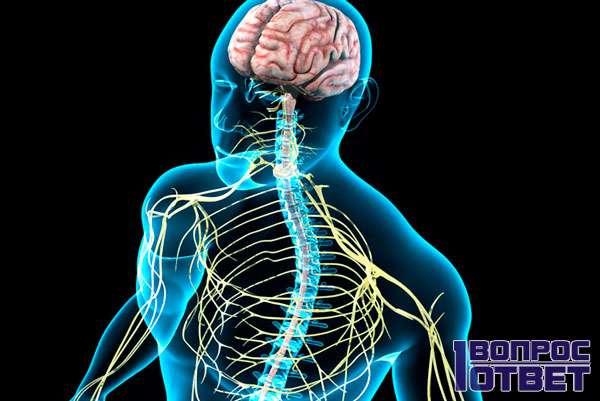 Нервная система и нейроны