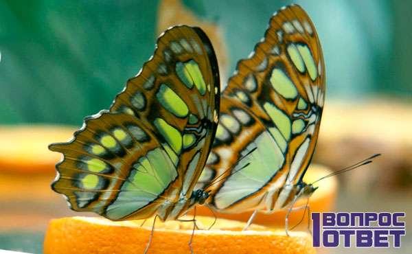 Крылатые насекомые на апельсине