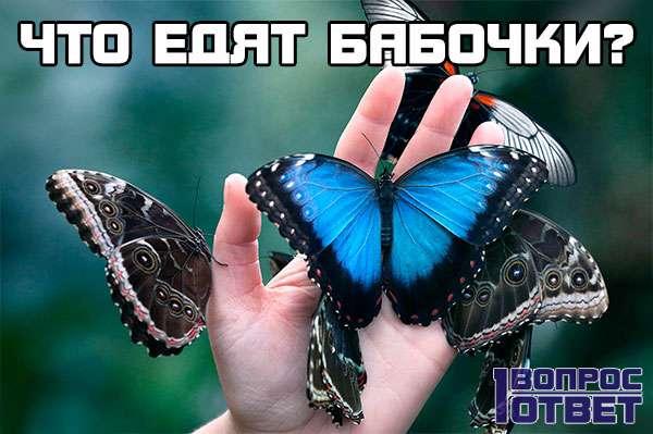 Что едят бабочки?