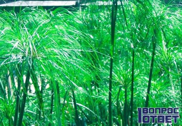 Делают папирус из этого тростника