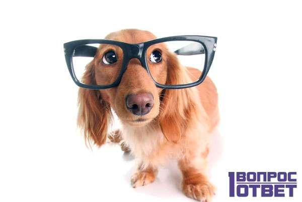 Интеллектуальный пес в очках