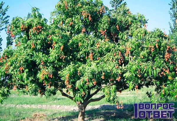 Большое дерево китайской сливы