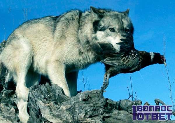 Волк поймал тетерева