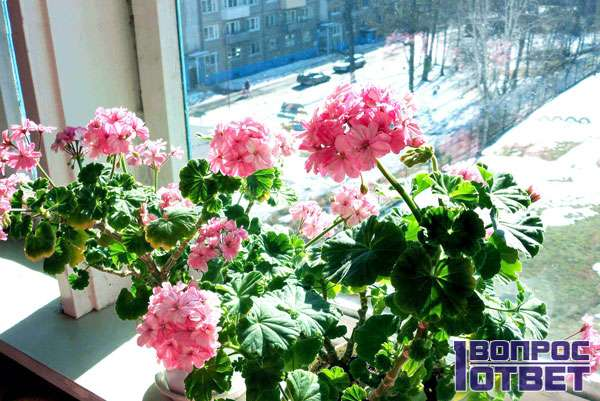 Цветок в чашках с удобрением на подоконнике