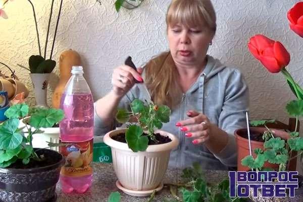 пересаживает растение в горшки побольше